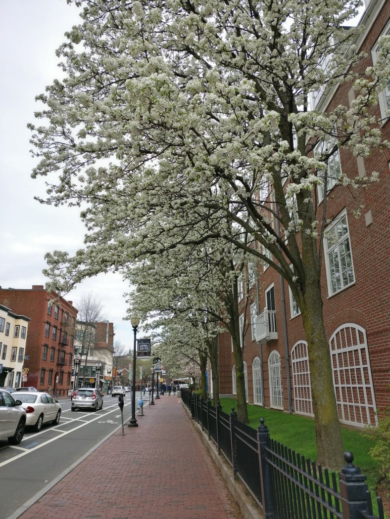 White blossoms near Harvard Square